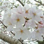2017年お花見写真